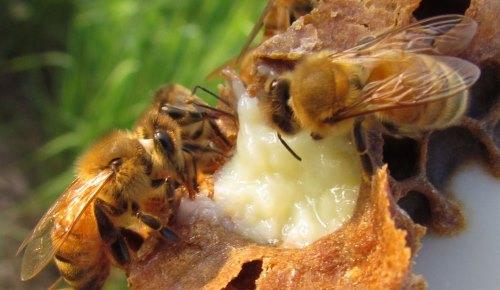 """07 Cách đắp mặt nạ sữa ong chúa """"SIÊU"""" trắng da, sạch nám"""