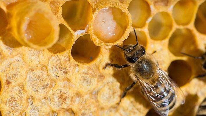 Thực hư sữa ong chúa tăng cường sinh lý, chữa vô sinh